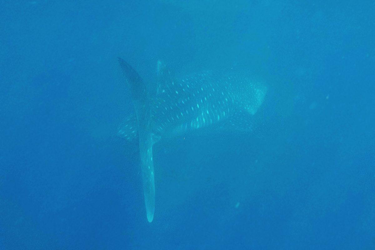 Whalesharking